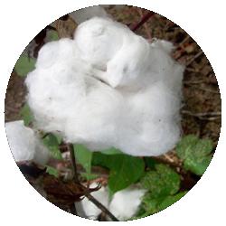 Flora Chilli - Coton bio certifié GOTS