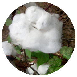Flora Curaçao - Coton bio certifié GOTS