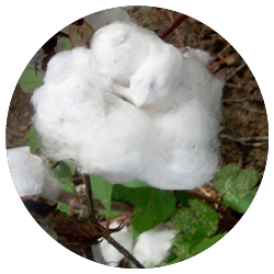 Habana Zebra - GOTS Certified Organic Cotton